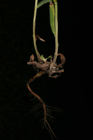 Image http://bioimages.vanderbilt.edu/lq/baskauf/wbuar3-wproot51268.jpg