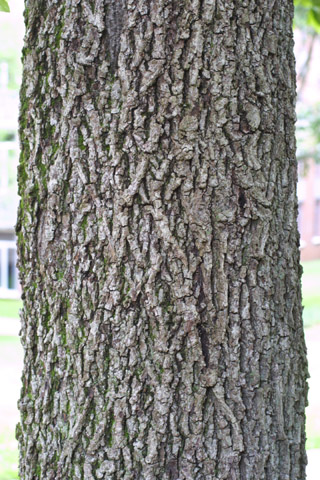 Image http://bioimages.vanderbilt.edu/lq/baskauf/wcaal27brlarge-tree13446.jpg