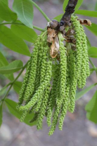 Image http://bioimages.vanderbilt.edu/lq/baskauf/wcaal27flinflor20712.jpg