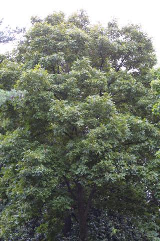 Image http://bioimages.vanderbilt.edu/lq/baskauf/wcaal27wplarge13422.jpg