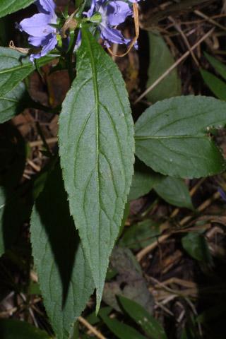 Image http://bioimages.vanderbilt.edu/lq/baskauf/wcaam18lf27796.jpg