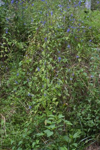Image http://bioimages.vanderbilt.edu/lq/baskauf/wcaam18wpmass28460.jpg