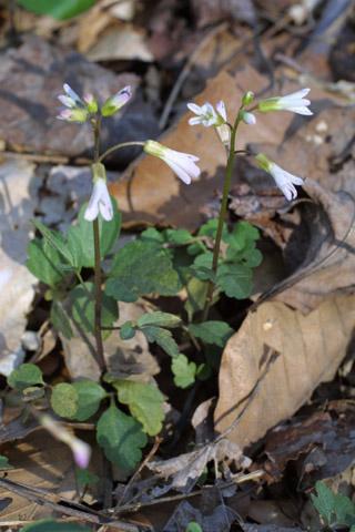 Image http://bioimages.vanderbilt.edu/lq/baskauf/wcaan11wp10541.jpg