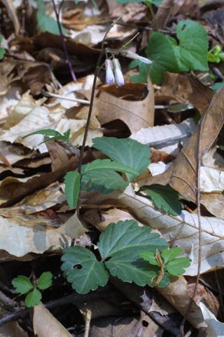 Image http://bioimages.vanderbilt.edu/lq/baskauf/wcaan11wp19466.jpg