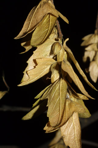 Image http://bioimages.vanderbilt.edu/lq/baskauf/wcaca18frmature43789.jpg