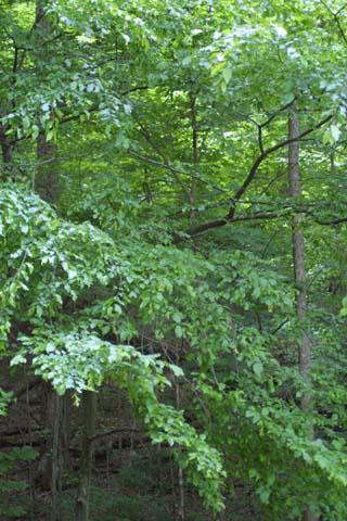 Image http://bioimages.vanderbilt.edu/lq/baskauf/wcaca18wp24520.jpg