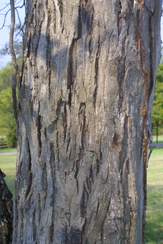 Image http://bioimages.vanderbilt.edu/lq/baskauf/wcaca38brlarge30078.jpg