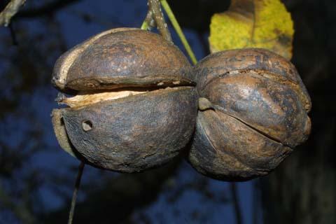 Image http://bioimages.vanderbilt.edu/lq/baskauf/wcaca38fr30067.jpg