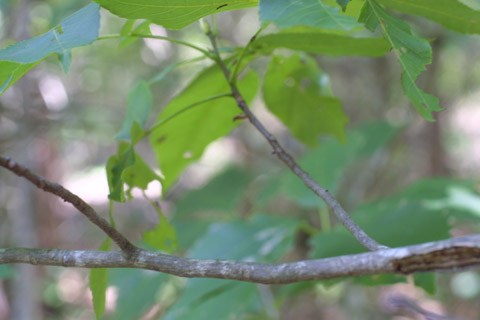 Image http://bioimages.vanderbilt.edu/lq/baskauf/wcaca38tw12970.jpg