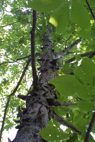 Image http://bioimages.vanderbilt.edu/lq/baskauf/wcaca38wplookup12960.jpg