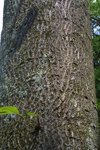Image http://bioimages.vanderbilt.edu/lq/baskauf/wcaco15brclose27896.jpg