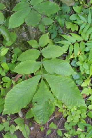 Image http://bioimages.vanderbilt.edu/lq/baskauf/wcaco15lf27889.jpg