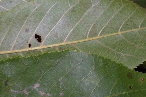 Image http://bioimages.vanderbilt.edu/lq/baskauf/wcaco15lfmargin-uplow30232.jpg