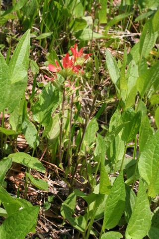 Image http://bioimages.vanderbilt.edu/lq/baskauf/wcaco17wp57917.jpg