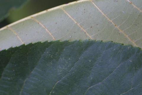 Image http://bioimages.vanderbilt.edu/lq/baskauf/wcala21lfmargin-uplow13836.jpg