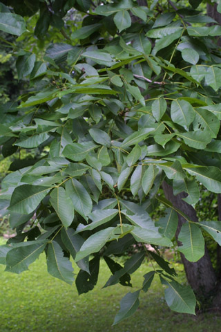 Image http://bioimages.vanderbilt.edu/lq/baskauf/wcala21lfseveral13833.jpg