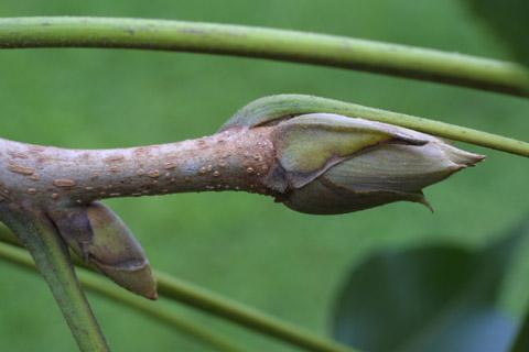 Image http://bioimages.vanderbilt.edu/lq/baskauf/wcala21twterm-bud13866.jpg