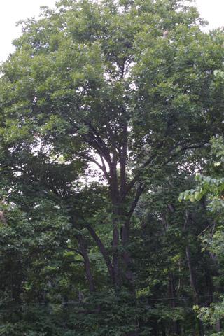 Image http://bioimages.vanderbilt.edu/lq/baskauf/wcala21wplarge13828.jpg