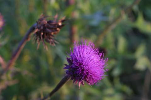Image http://bioimages.vanderbilt.edu/lq/baskauf/wcanu4-fl26662.jpg