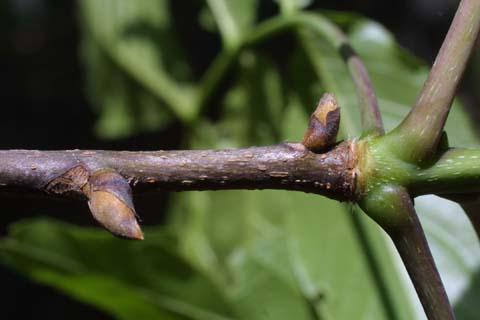 Image http://bioimages.vanderbilt.edu/lq/baskauf/wcaov2-tw22882.jpg
