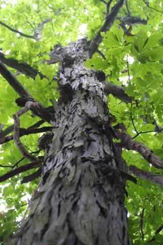 Image http://bioimages.vanderbilt.edu/lq/baskauf/wcaov2-wplookup-large13654.jpg