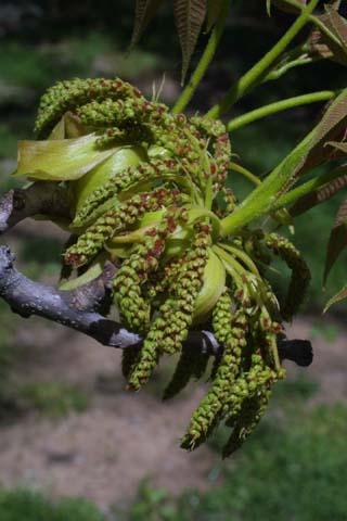 Image http://bioimages.vanderbilt.edu/lq/baskauf/wcaov3-flmale-inflor22018.jpg