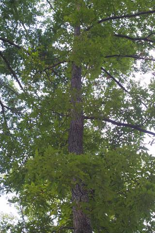 Image http://bioimages.vanderbilt.edu/lq/baskauf/wcapa24wplookup37644.jpg