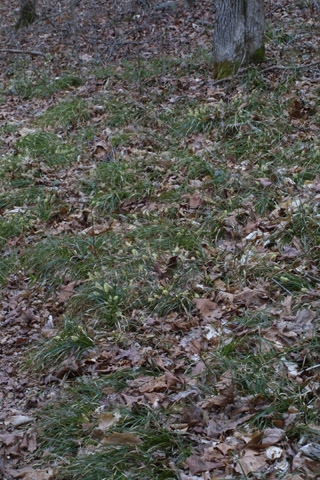 Image http://bioimages.vanderbilt.edu/lq/baskauf/wcapi5-wpmass31079.jpg