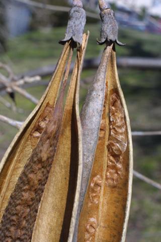 Image http://bioimages.vanderbilt.edu/lq/baskauf/wcara2-frseeds17401.jpg