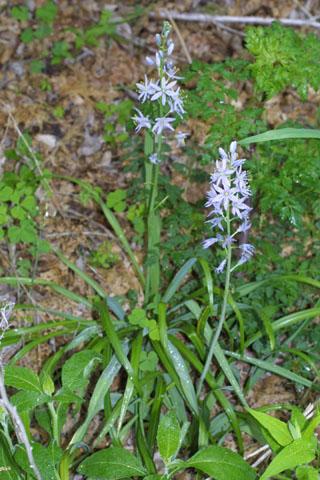 Image http://bioimages.vanderbilt.edu/lq/baskauf/wcasc5-wp32935.jpg