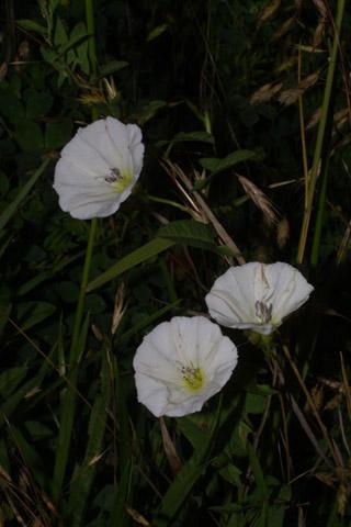 Image http://bioimages.vanderbilt.edu/lq/baskauf/wcase13fldistant27410.jpg