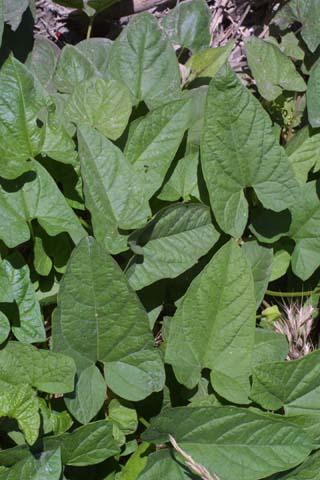 Image http://bioimages.vanderbilt.edu/lq/baskauf/wcase13lfseveral23974.jpg