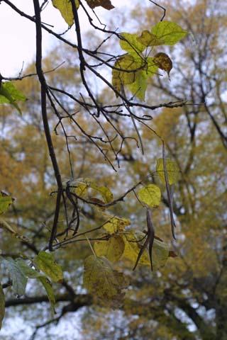 Image http://bioimages.vanderbilt.edu/lq/baskauf/wcasp8-frin-fruit10222.jpg