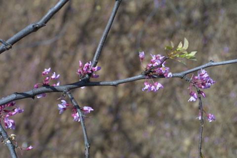 Image http://bioimages.vanderbilt.edu/lq/baskauf/wceca4-flon-branch10392.jpg