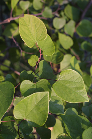 Image http://bioimages.vanderbilt.edu/lq/baskauf/wceca4-lfseveral11206.jpg