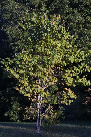 Image http://bioimages.vanderbilt.edu/lq/baskauf/wceca4-wp29775.jpg