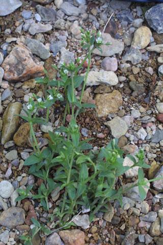 Image http://bioimages.vanderbilt.edu/lq/baskauf/wcefov2wp33297.jpg