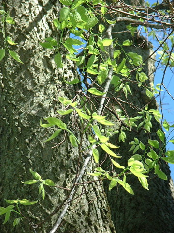 Image http://bioimages.vanderbilt.edu/lq/baskauf/wceoco2lfseverald0426.jpg