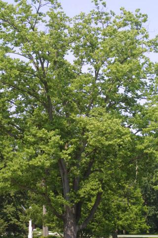 Image http://bioimages.vanderbilt.edu/lq/baskauf/wceoco2wp35439.jpg