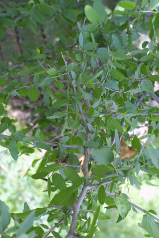 Image http://bioimages.vanderbilt.edu/lq/baskauf/wcepa8-wp14840.jpg