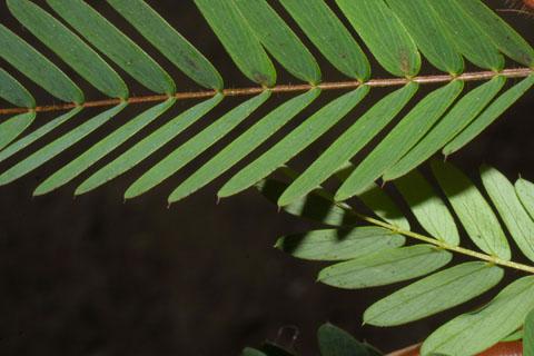 Image http://bioimages.vanderbilt.edu/lq/baskauf/wchfa2-lfmargin-uplow36493.jpg