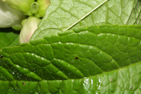 Image http://bioimages.vanderbilt.edu/lq/baskauf/wchgl2-lfmargin-uplow38398.jpg