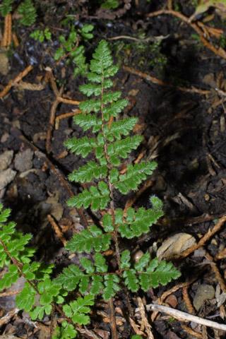 Image http://bioimages.vanderbilt.edu/lq/baskauf/wchla2-lf43351.jpg