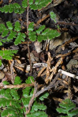 Image http://bioimages.vanderbilt.edu/lq/baskauf/wchla2-st43356.jpg