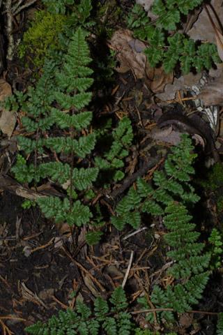 Image http://bioimages.vanderbilt.edu/lq/baskauf/wchla2-wp43348.jpg