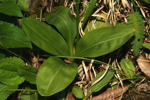 Image http://bioimages.vanderbilt.edu/lq/baskauf/wchlu--lfbasal-rosette57958.jpg