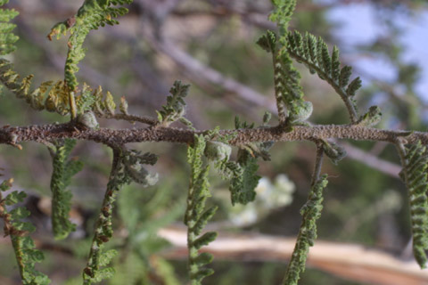 Image http://bioimages.vanderbilt.edu/lq/baskauf/wchmi2-tw14087.jpg