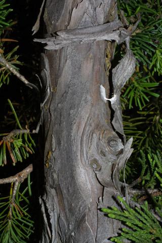 Image http://bioimages.vanderbilt.edu/lq/baskauf/wchno--brsmall41330.jpg
