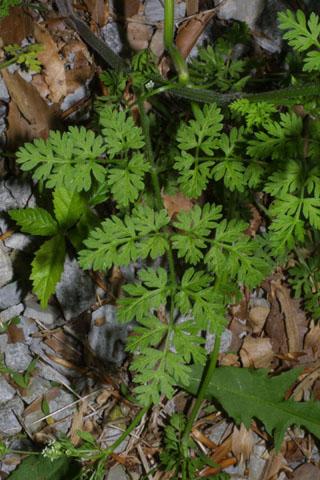 Image http://bioimages.vanderbilt.edu/lq/baskauf/wchpr--lf34022.jpg