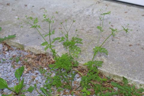 Image http://bioimages.vanderbilt.edu/lq/baskauf/wchpr--wp34012.jpg